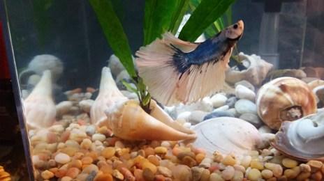 Isaiah Betta Fish Changing Colors