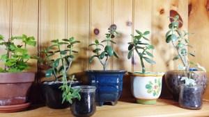 plants group Jade Sweet Tater Sundrip