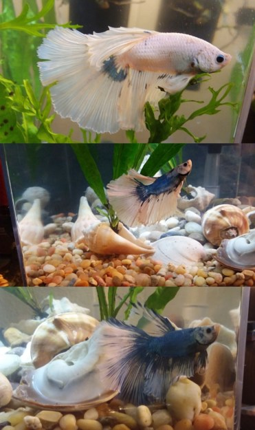 Isaiah the dragon Betta fish sundrip-down3