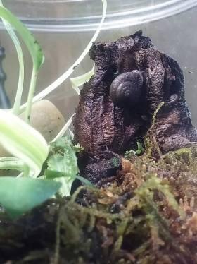 Michelle land snail Sundrip