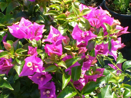 New River Bougainvillea