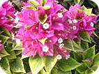 Pink Pixie Bougainvillea