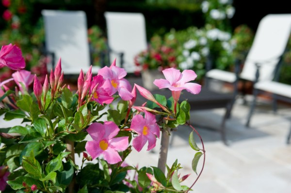 Sun-Parasol-mandevilla-pretty-pink