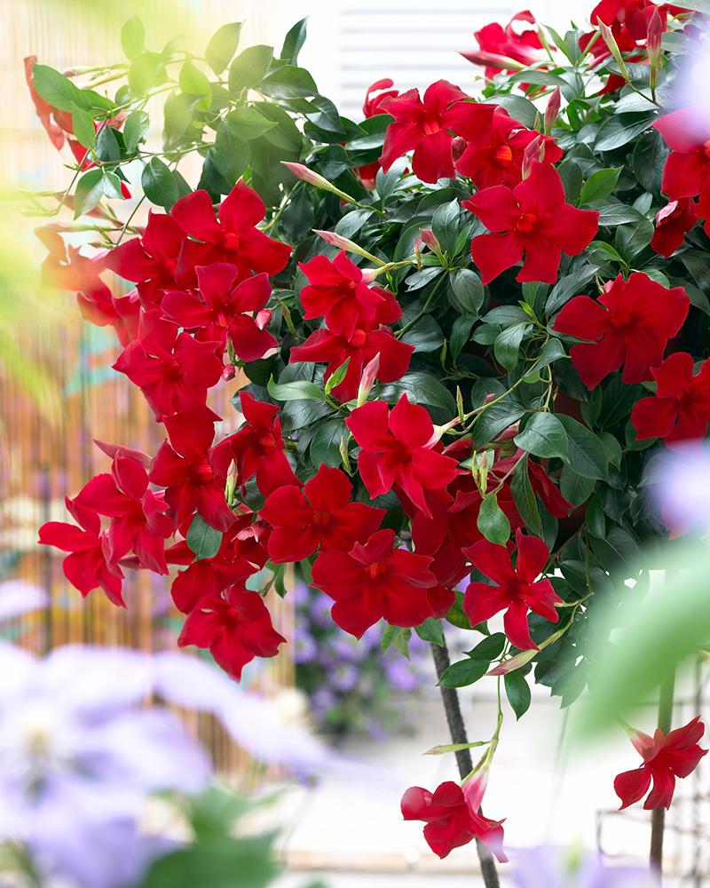 Sun Parasol Mandevilla Pretty Crimson Sunfire Nurseries