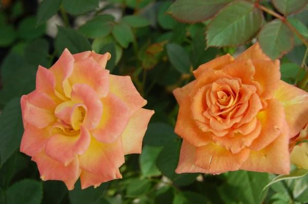 sunrosa-orange-delight-rose
