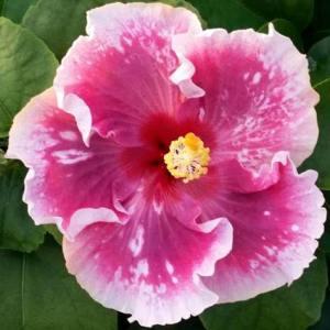 zydeco-cajun-hibiscus