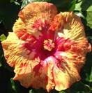 cajun-cocktail-cajun-hibiscus