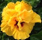 cajun-gold-cajun-hibiscus