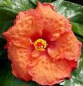 cajun-orange-crush-cajun-hibiscus