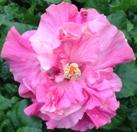 chiffon-pink-cajun-hibiscus