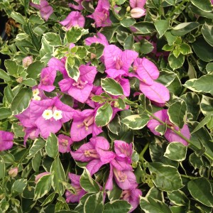 blueberry-ice-bougainvillea-variegated-foliage