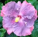 storm-front-cajun-hibiscus