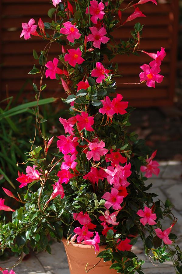 sun-parasol-mandevilla-Pretty-Deep-Pink-6