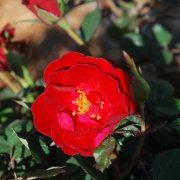 sunrosa-roses-red