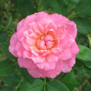 Sunrosa-rose-fragrant-pink
