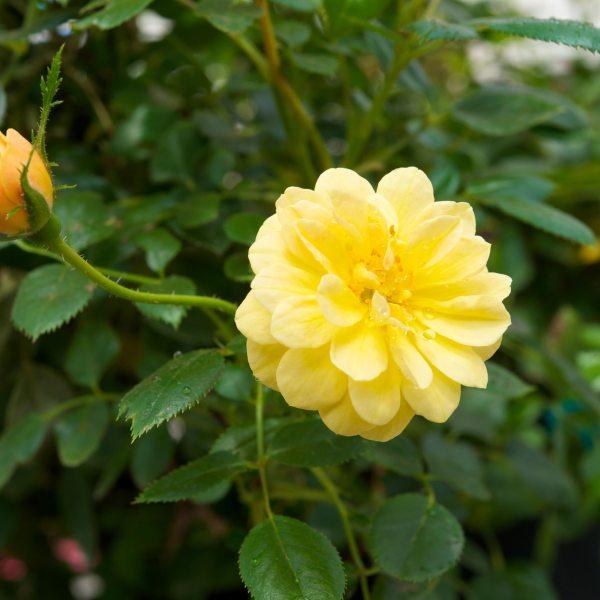 sunrosa rose yellow