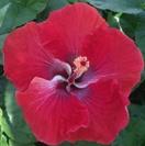 yuletide-cajun-hibiscus