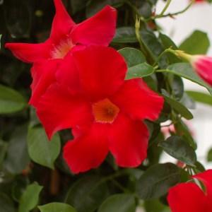 Sun Parasol Mandevilla Giant Crimson Sunfire Nurseries