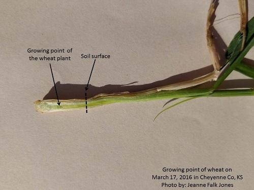 prejointing wheat