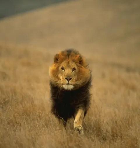 Лев царь зверей - Фото Дом Солнца