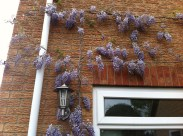 Flowering Young Wisteria