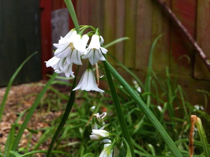 Three Cornered Garlic