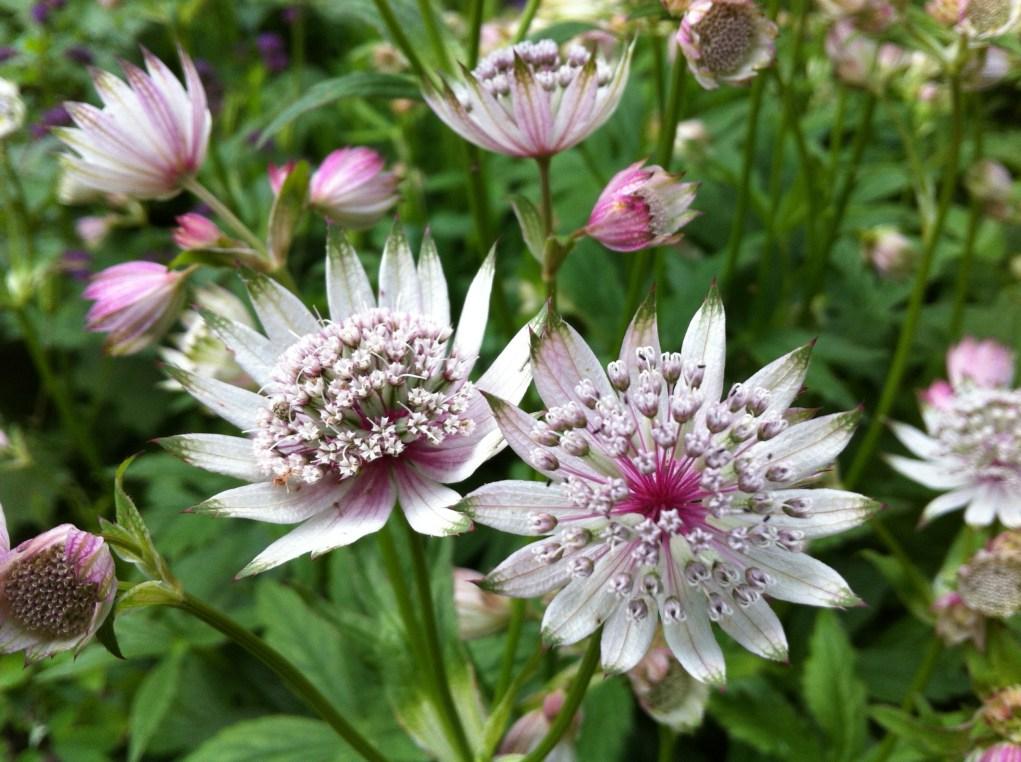 Astrantia flowers