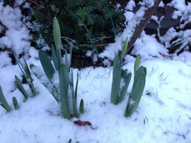 Emerging Daffodils