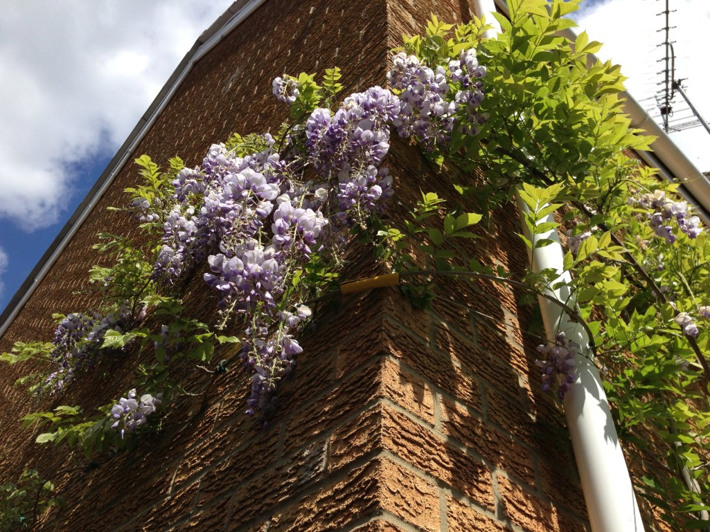 Wisteria Won T Bloom How To Get A Wisteria To Flower