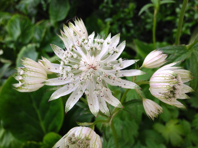 My Astrantia, Their Astrantia