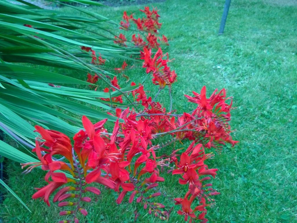 Crocosmia Lucifer Growing Horizontally