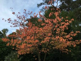 Autumn Colour on Ornamental Cherry