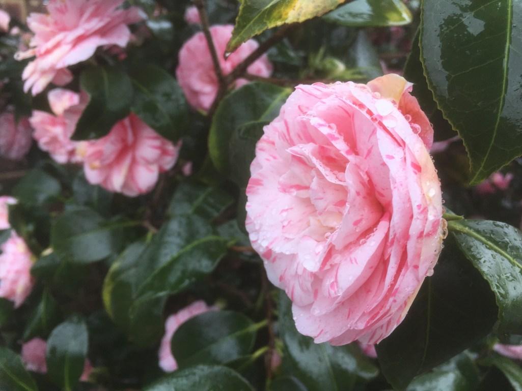 Splashed Camellia - 2016