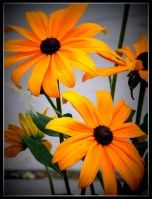 blackeyed susans 2