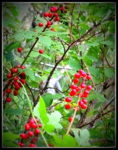 poison berries