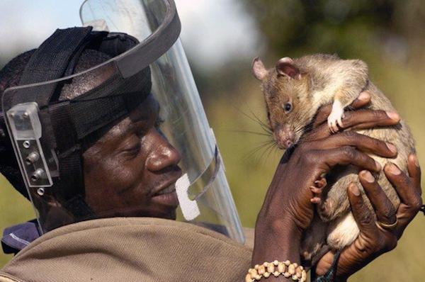 rats saving lives