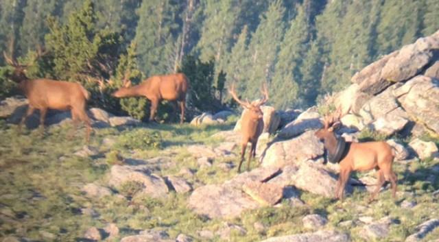 bull elk tire around neck