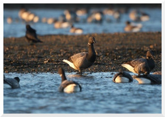 brant-geese