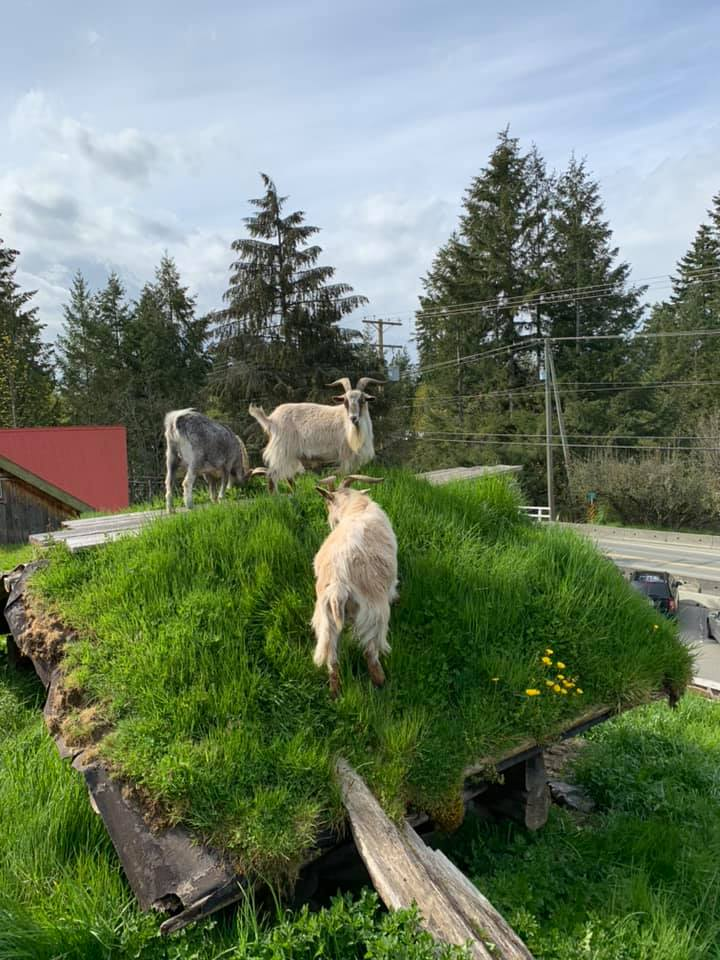 goats-on-the-roof