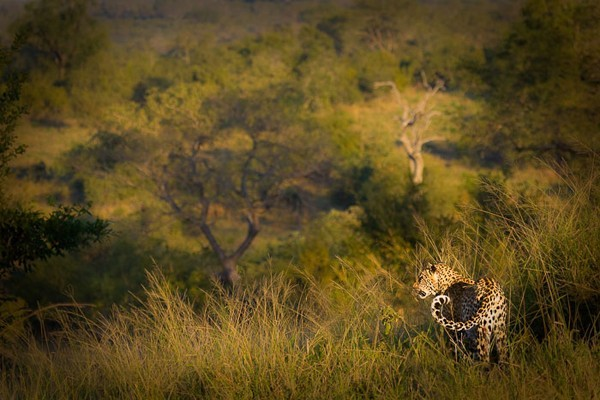 Exquisite beauty of the Leopards of Londolozi – by Brett Thomson