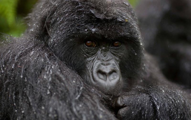 gorilla trekking in Uganda, Gorilla Trekking in Uganda
