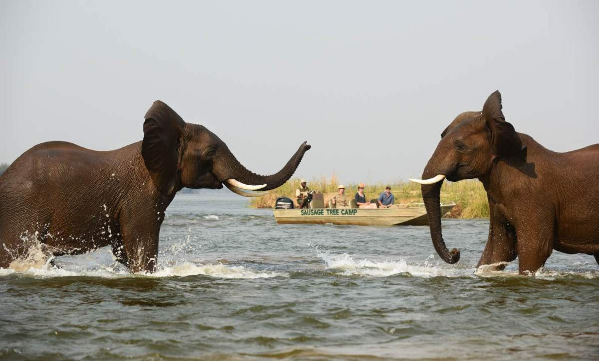 Elephant performance on a boat cruise with Sausage Tree Camp