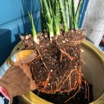How To Pot Up Snake Plant Pups And Get Free Plants Sunset Magazine