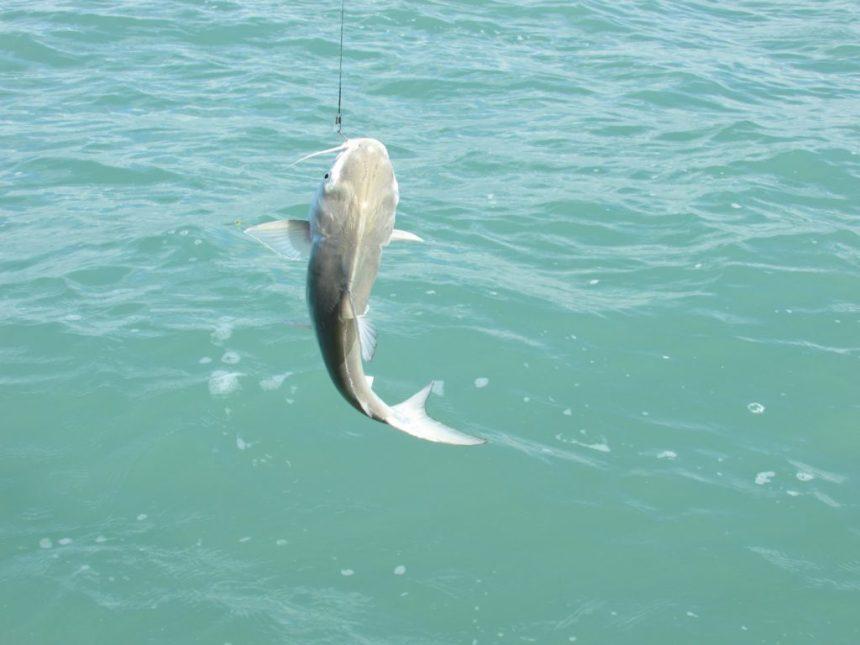 Catch Big Catfish Karumba Point Sunset Caravan Park
