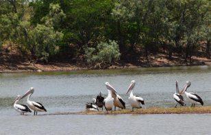 Pelicans Birds Karumba Point Sunset Caravan Park Wildlife