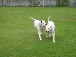 abrigo cães brancos