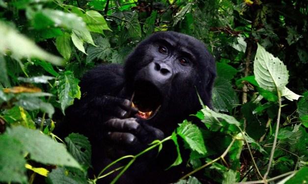 17 Day Gorillas Safari-Uganda, Wildlife Safari- Kenya/Tanzania