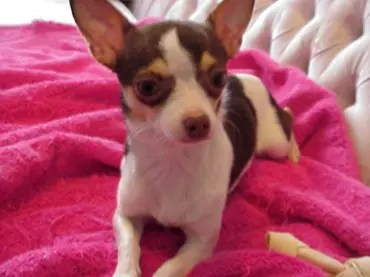 Long Hair Teacup Chihuahuas For Sale In Ottawa Ontario