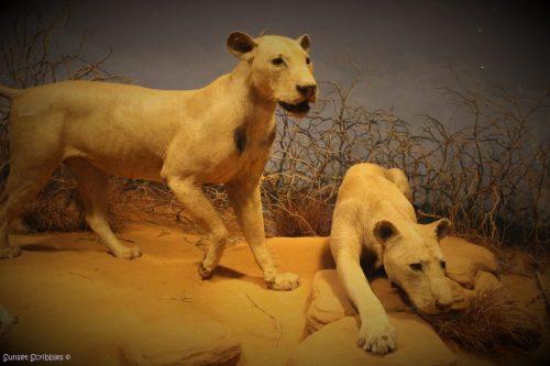 Field Museum - Chicago, IL - Tsavo Lions