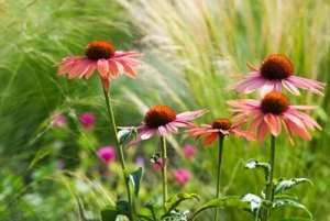 Echinacea in the field